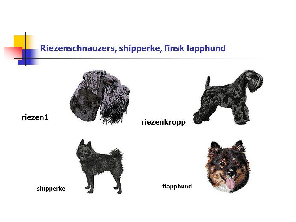 Riezenschnauzers, shipperke, finsk lapphund riezen1 riezenkropp shipperke flapphund