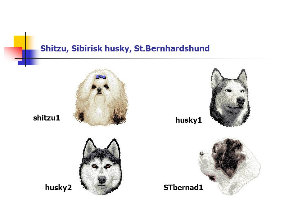 Shitzu, Sibirisk husky, St.Bernhardshund shitzu1 husky1 husky2STbernad1