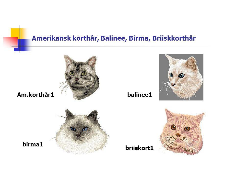 Amerikansk korthår, Balinee, Birma, Briiskkorthår Am.korthår1balinee1 birma1 briiskort1