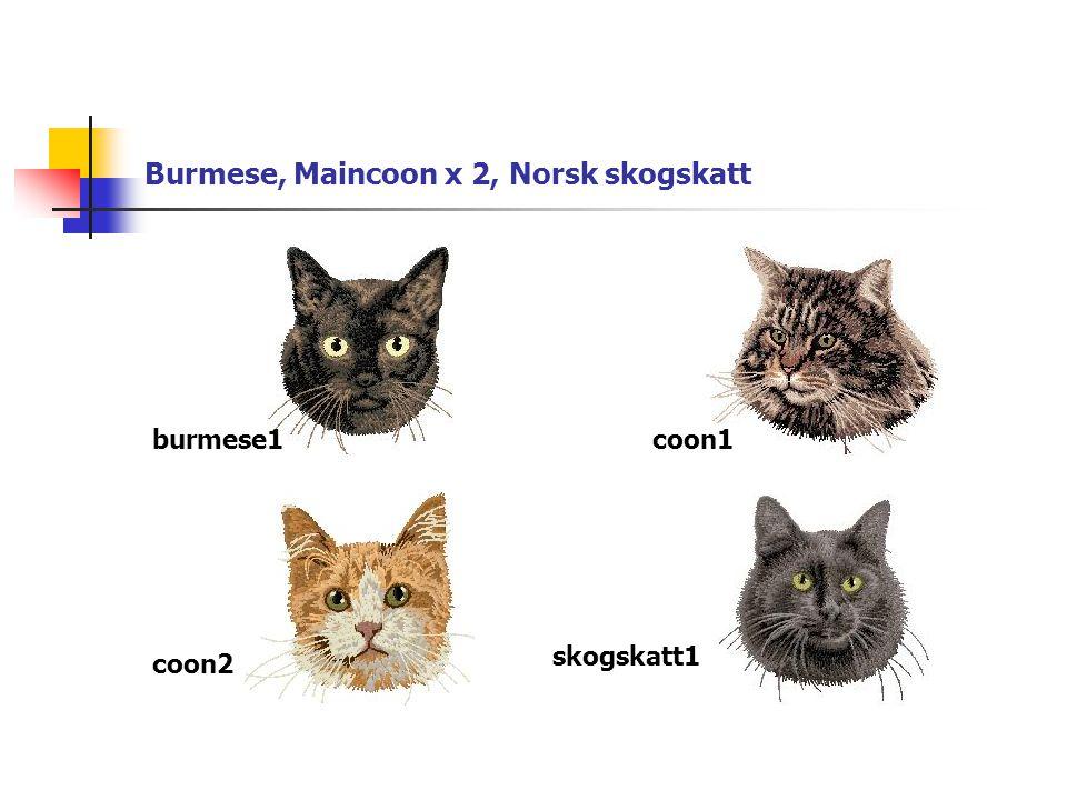 Burmese, Maincoon x 2, Norsk skogskatt burmese1coon1 coon2 skogskatt1