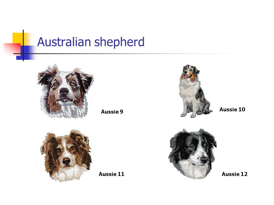 Australian shepherd Aussie 9 Aussie 10 Aussie 11Aussie 12