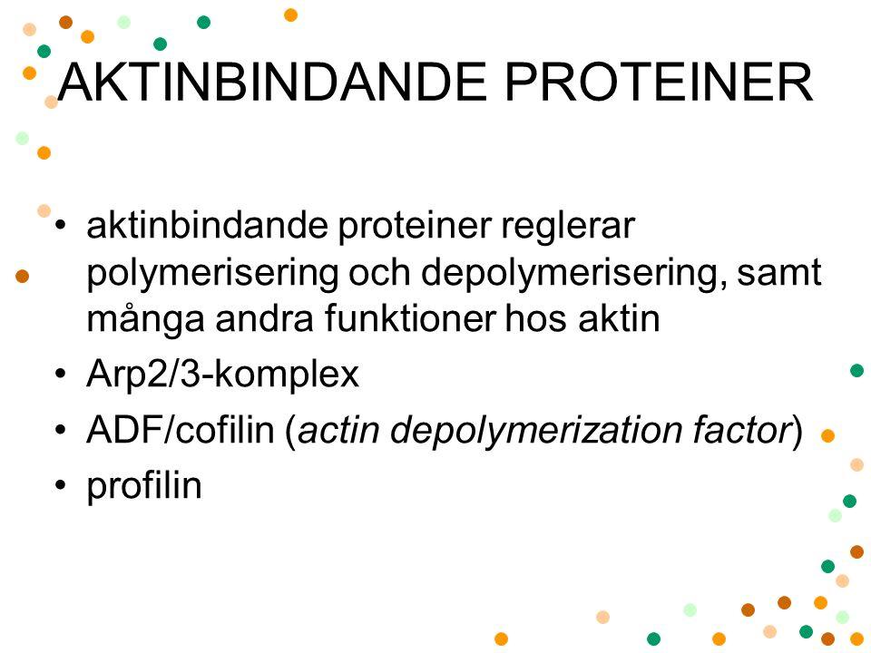 AKTINBINDANDE PROTEINER aktinbindande proteiner reglerar polymerisering och depolymerisering, samt många andra funktioner hos aktin Arp2/3-komplex ADF