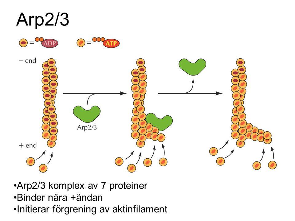 Arp2/3 Arp2/3 komplex av 7 proteiner Binder nära +ändan Initierar förgrening av aktinfilament