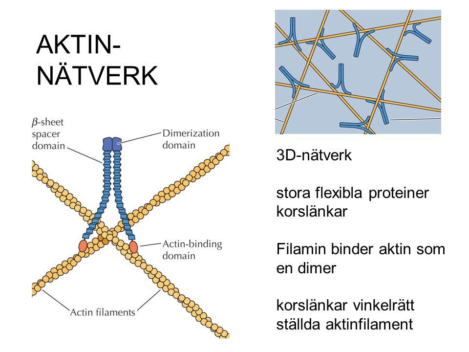 AKTIN- NÄTVERK 3D-nätverk stora flexibla proteiner korslänkar Filamin binder aktin som en dimer korslänkar vinkelrätt ställda aktinfilament