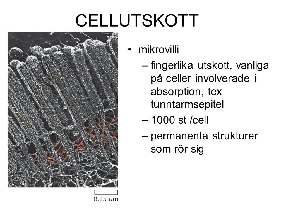 CELLUTSKOTT mikrovilli –fingerlika utskott, vanliga på celler involverade i absorption, tex tunntarmsepitel –1000 st /cell –permanenta strukturer som