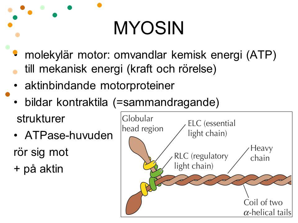 MYOSIN molekylär motor: omvandlar kemisk energi (ATP) till mekanisk energi (kraft och rörelse) aktinbindande motorproteiner bildar kontraktila (=samma