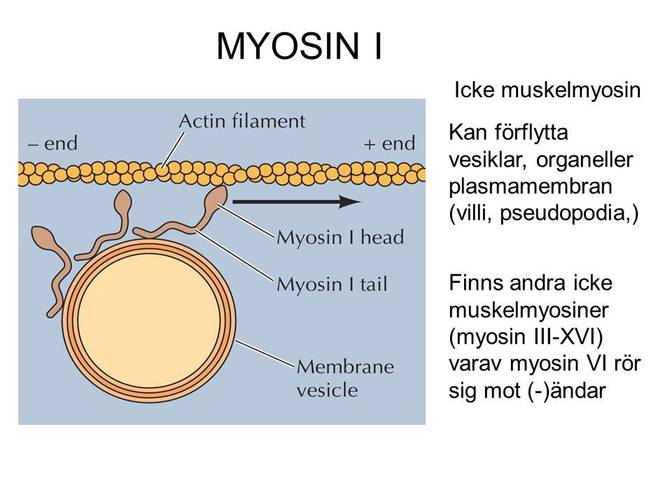 MYOSIN I Kan förflytta vesiklar, organeller plasmamembran (villi, pseudopodia,) Icke muskelmyosin Finns andra icke muskelmyosiner (myosin III-XVI) var