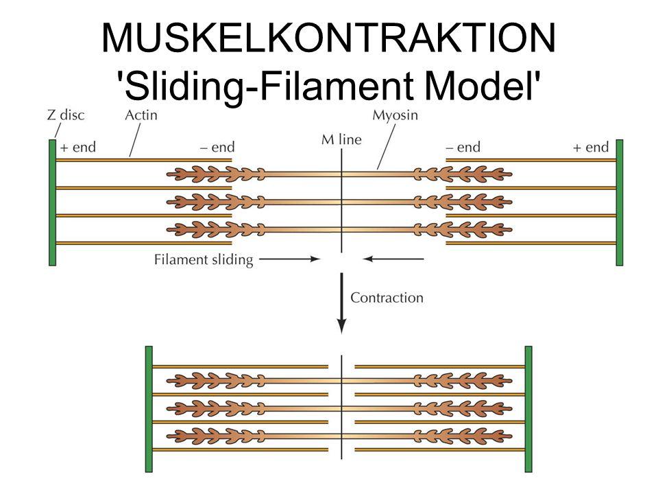 MUSKELKONTRAKTION 'Sliding-Filament Model'