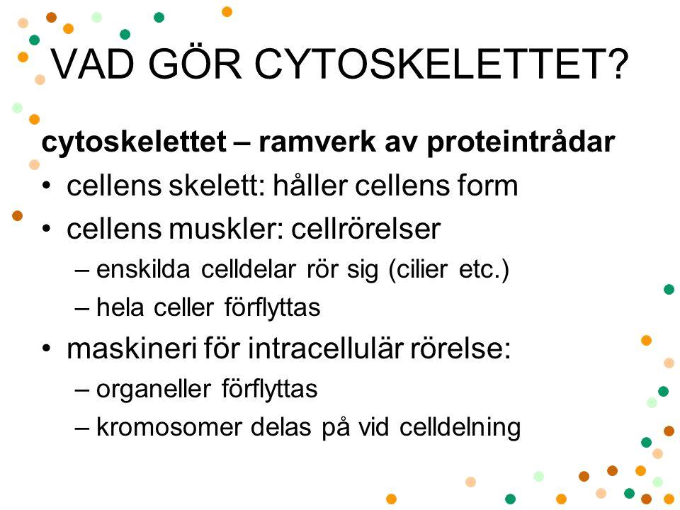 VAD GÖR CYTOSKELETTET? cytoskelettet – ramverk av proteintrådar cellens skelett: håller cellens form cellens muskler: cellrörelser –enskilda celldelar