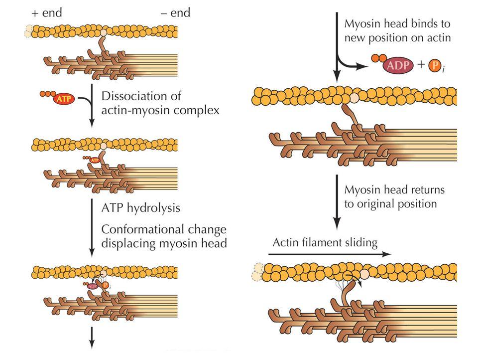 Tropomyosin och Troponin