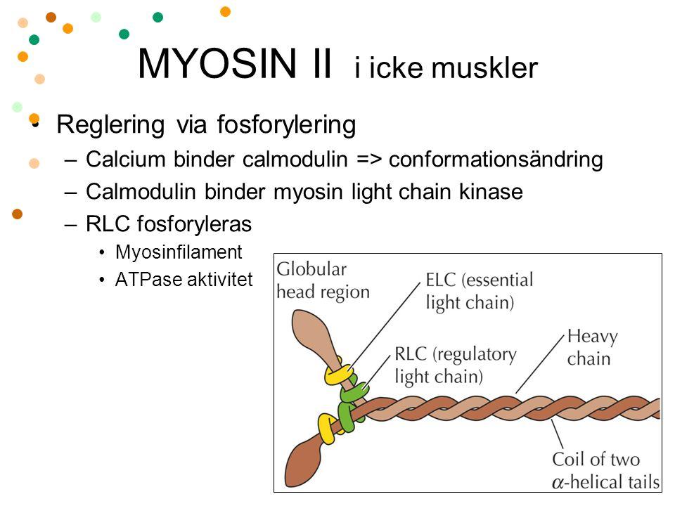 MYOSIN II i icke muskler Reglering via fosforylering –Calcium binder calmodulin => conformationsändring –Calmodulin binder myosin light chain kinase –