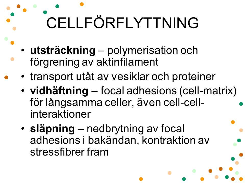CELLFÖRFLYTTNING utsträckning – polymerisation och förgrening av aktinfilament transport utåt av vesiklar och proteiner vidhäftning – focal adhesions