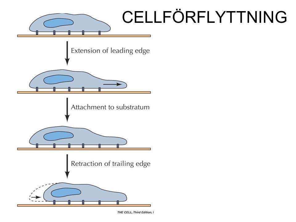 CELLFÖRFLYTTNING
