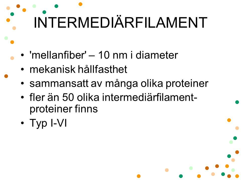INTERMEDIÄRFILAMENT 'mellanfiber' – 10 nm i diameter mekanisk hållfasthet sammansatt av många olika proteiner fler än 50 olika intermediärfilament- pr
