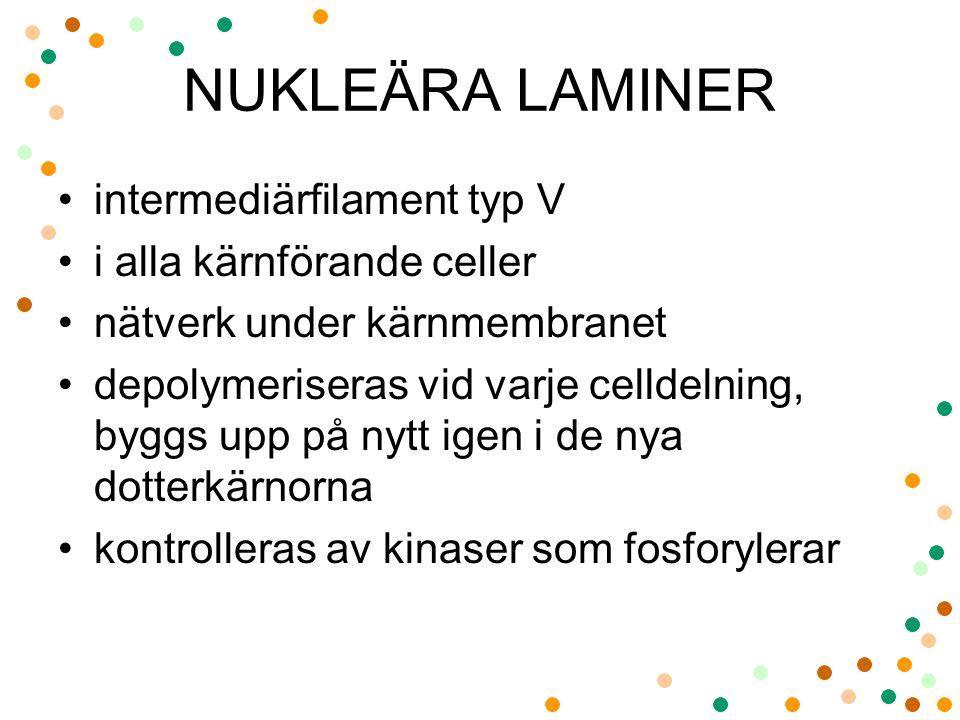 NUKLEÄRA LAMINER intermediärfilament typ V i alla kärnförande celler nätverk under kärnmembranet depolymeriseras vid varje celldelning, byggs upp på n