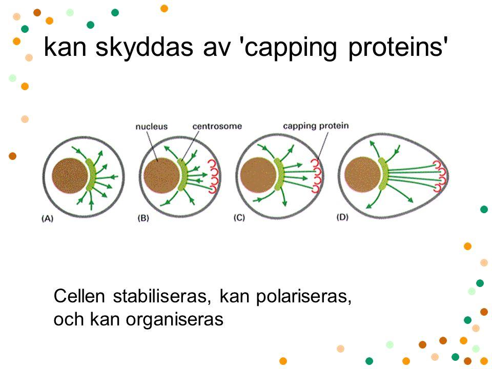 kan skyddas av 'capping proteins' Cellen stabiliseras, kan polariseras, och kan organiseras