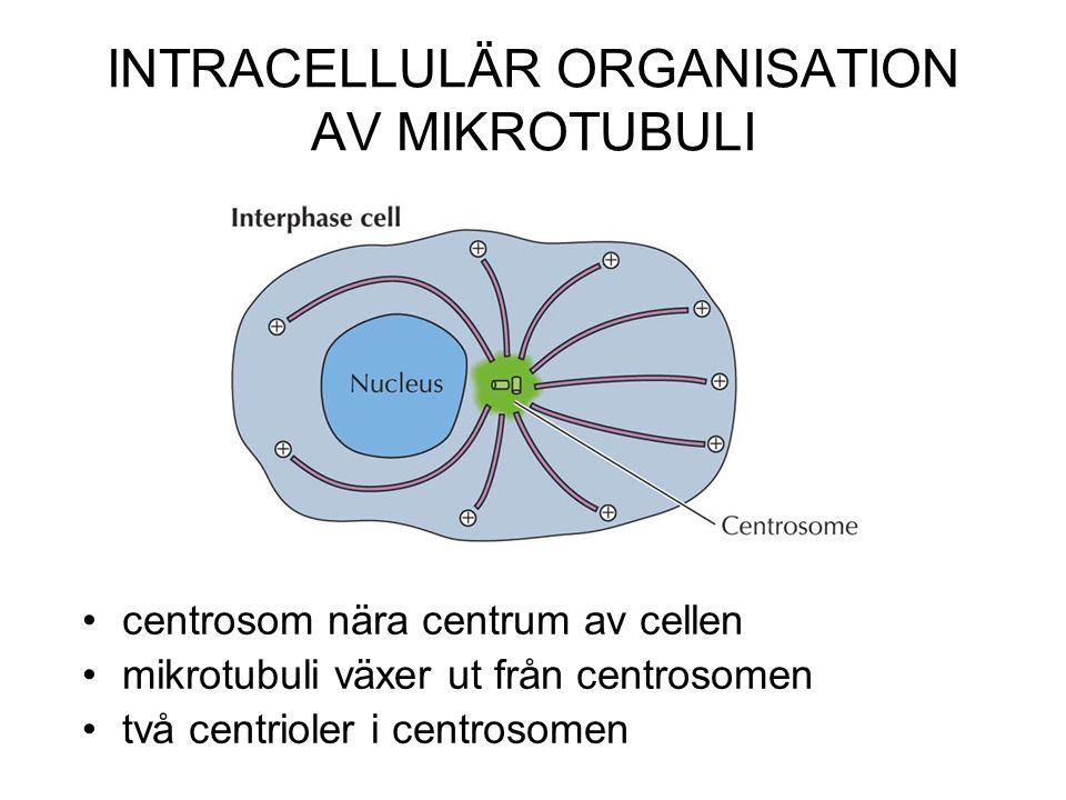 INTRACELLULÄR ORGANISATION AV MIKROTUBULI centrosom nära centrum av cellen mikrotubuli växer ut från centrosomen två centrioler i centrosomen