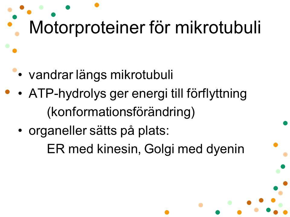 Motorproteiner för mikrotubuli vandrar längs mikrotubuli ATP-hydrolys ger energi till förflyttning (konformationsförändring) organeller sätts på plats