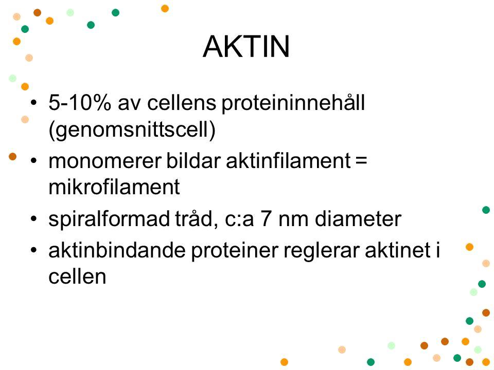 5-10% av cellens proteininnehåll (genomsnittscell) monomerer bildar aktinfilament = mikrofilament spiralformad tråd, c:a 7 nm diameter aktinbindande p
