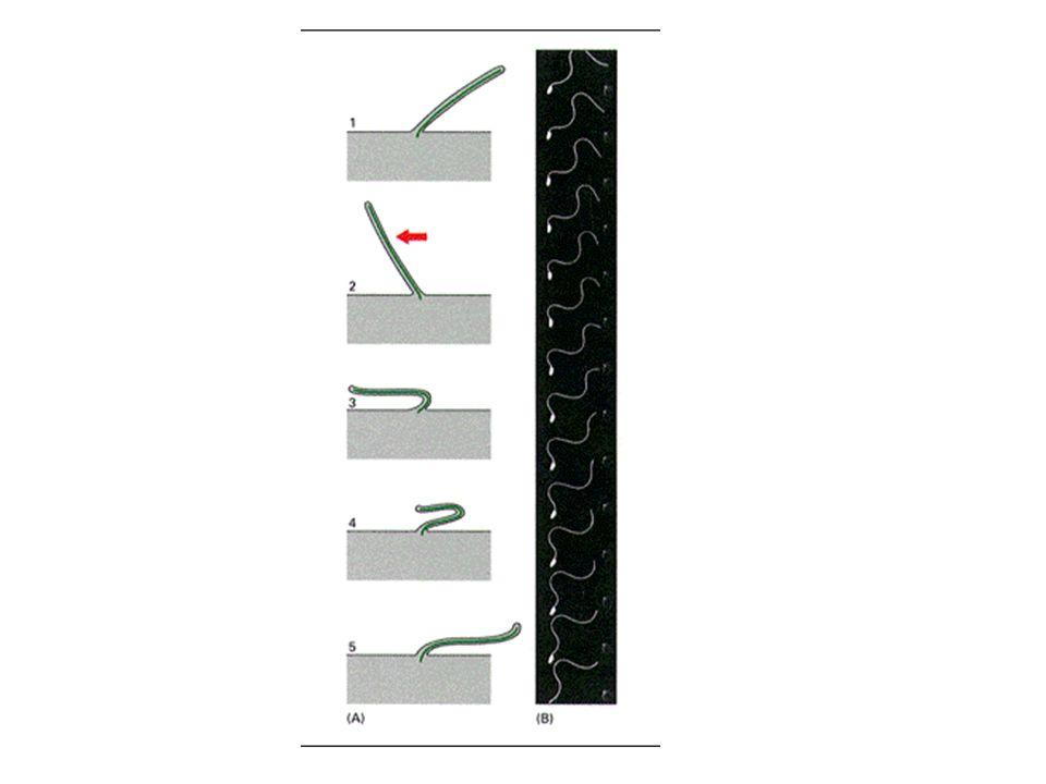 SAMMANFATTNING Cytoskelettets roller Aktin –cellcortex, stressfiber, mikrovilli, cellutskott, –aktin och myosin, cellrörelse – cellkravlande Intermediärfilament –keratin, vimetin –neurofilament –nukleära laminer Mikrotubuli –mitotisk spole –räls –cilier och flageller