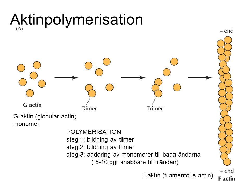 Aktinpolymerisation G-aktin (globular actin) monomer F-aktin (filamentous actin) POLYMERISATION steg 1: bildning av dimer steg 2: bildning av trimer s