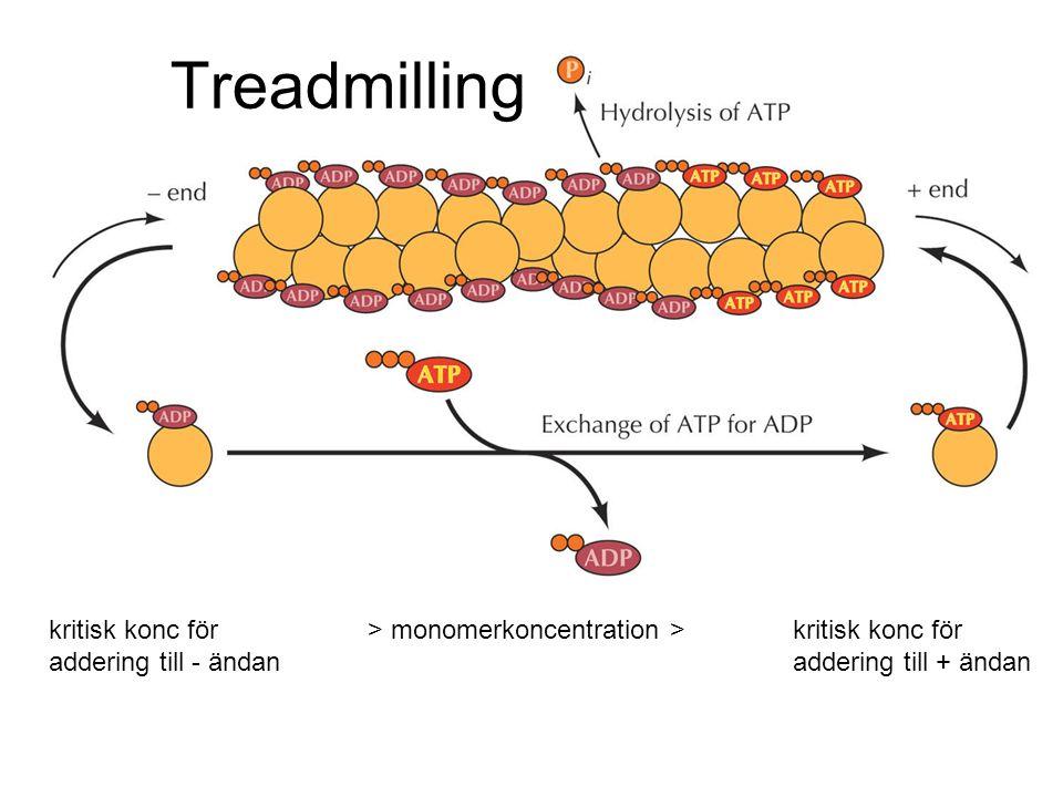Treadmilling kritisk konc för > monomerkoncentration > kritisk konc för addering till - ändan addering till + ändan