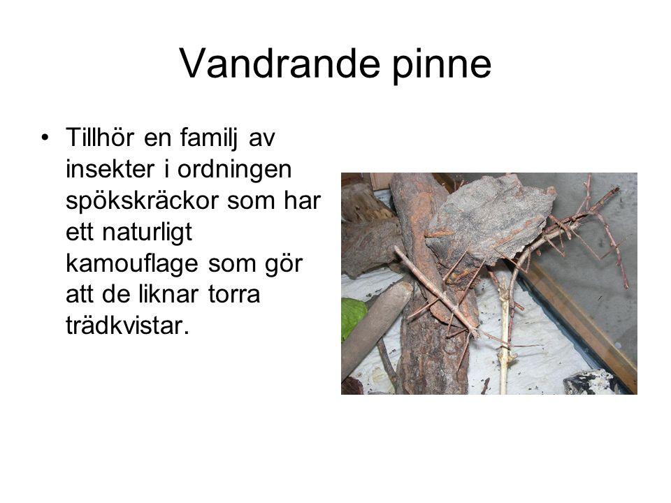 Vandrande pinne Tillhör en familj av insekter i ordningen spökskräckor som har ett naturligt kamouflage som gör att de liknar torra trädkvistar.