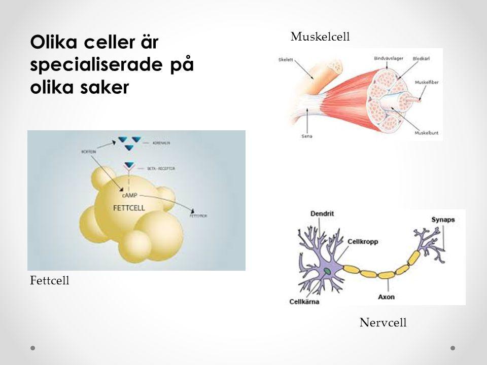 Organeller Cellkärna – 46 kromosomer i 23 par, 20 000-30 000 gener, styr allt som sker i cellen Mitokondrie - energifabrik Lysosomer - renhållning Ribosomer – tillverkar proteiner var och en med sina speciella uppgifter Cellplasma – trögflytande Cellmembran – som en hud runt cellen där ämnen kan passera ut och in igenom Cellmembranet är skalet Ämnen förs in i och ut ur cellen Cellen tar emot information via cellmembranet