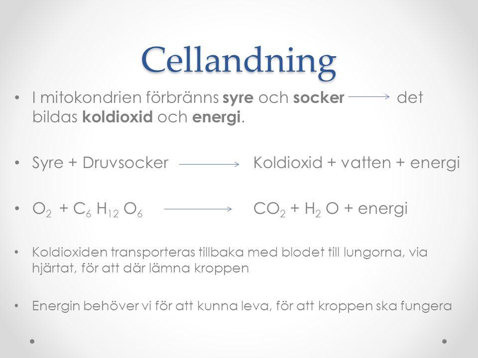 Cellandning I mitokondrien förbränns syre och socker det bildas koldioxid och energi. Syre + Druvsocker Koldioxid + vatten + energi O 2 + C 6 H 12 O 6