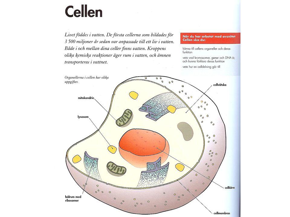 Skillnad växtcell, djurcell Cellvägg och kloroplaster finns bara hos växtceller.