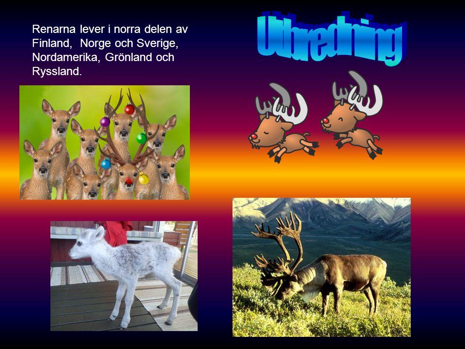 Renarna lever i norra delen av Finland, Norge och Sverige, Nordamerika, Grönland och Ryssland.