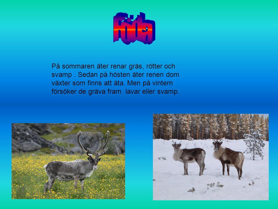 Renar lever i flock och det är oftast honor och kalvar som är tillsammans i en flock och hanar i en annan.