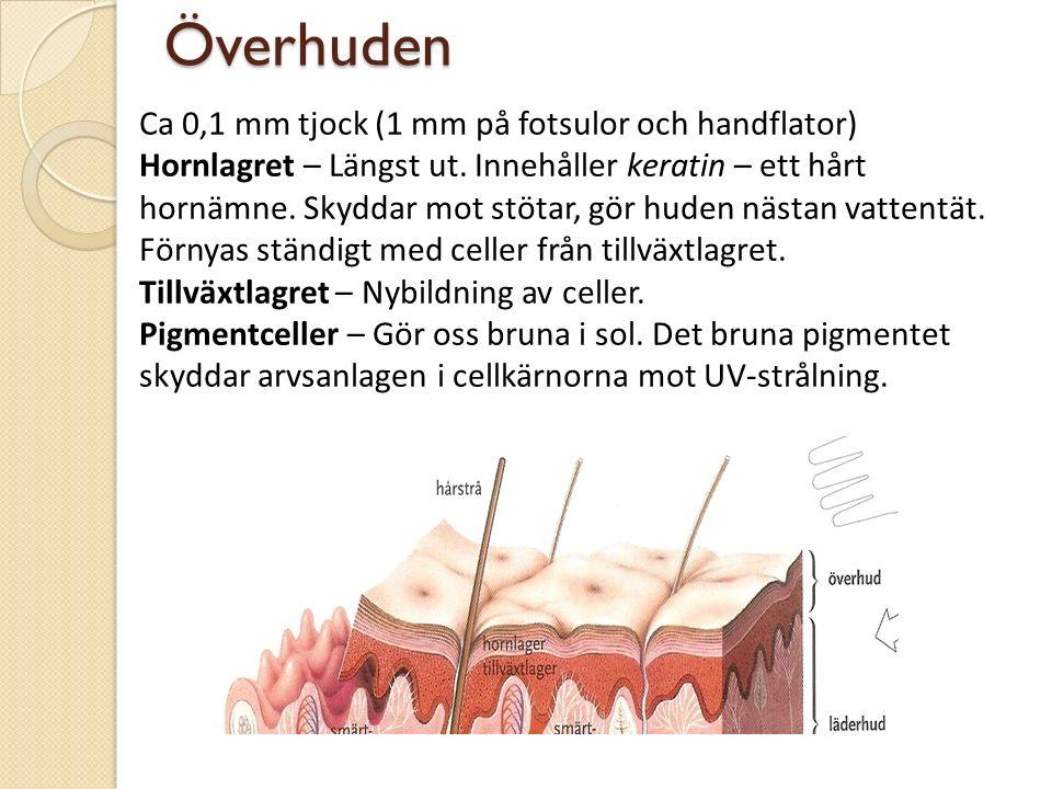 Överhuden Ca 0,1 mm tjock (1 mm på fotsulor och handflator) Hornlagret – Längst ut. Innehåller keratin – ett hårt hornämne. Skyddar mot stötar, gör hu