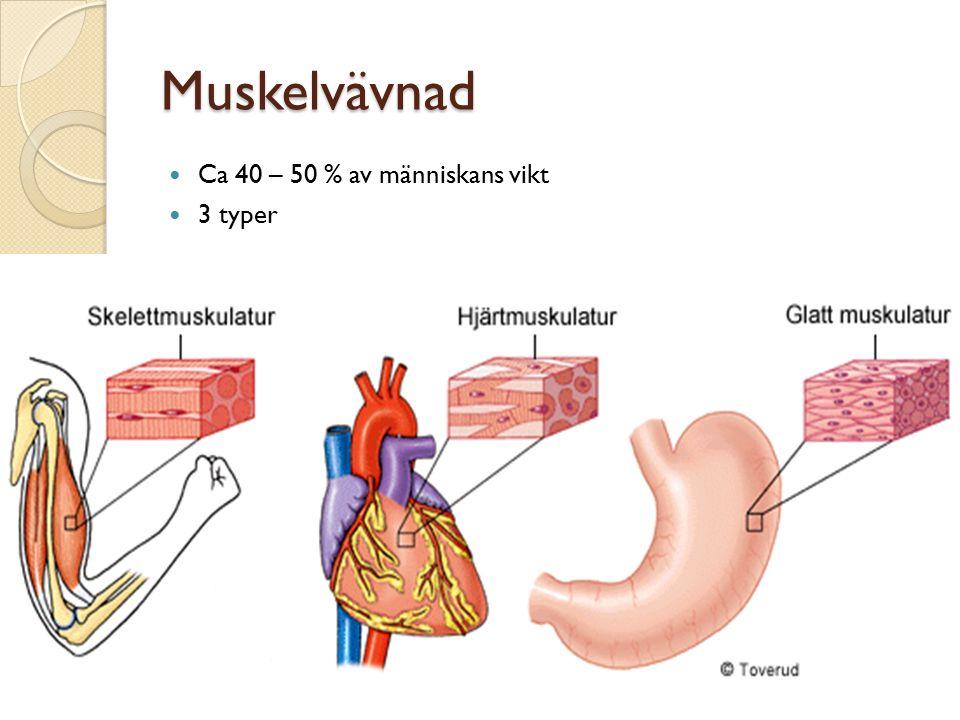 Muskelvävnad Ca 40 – 50 % av människans vikt 3 typer