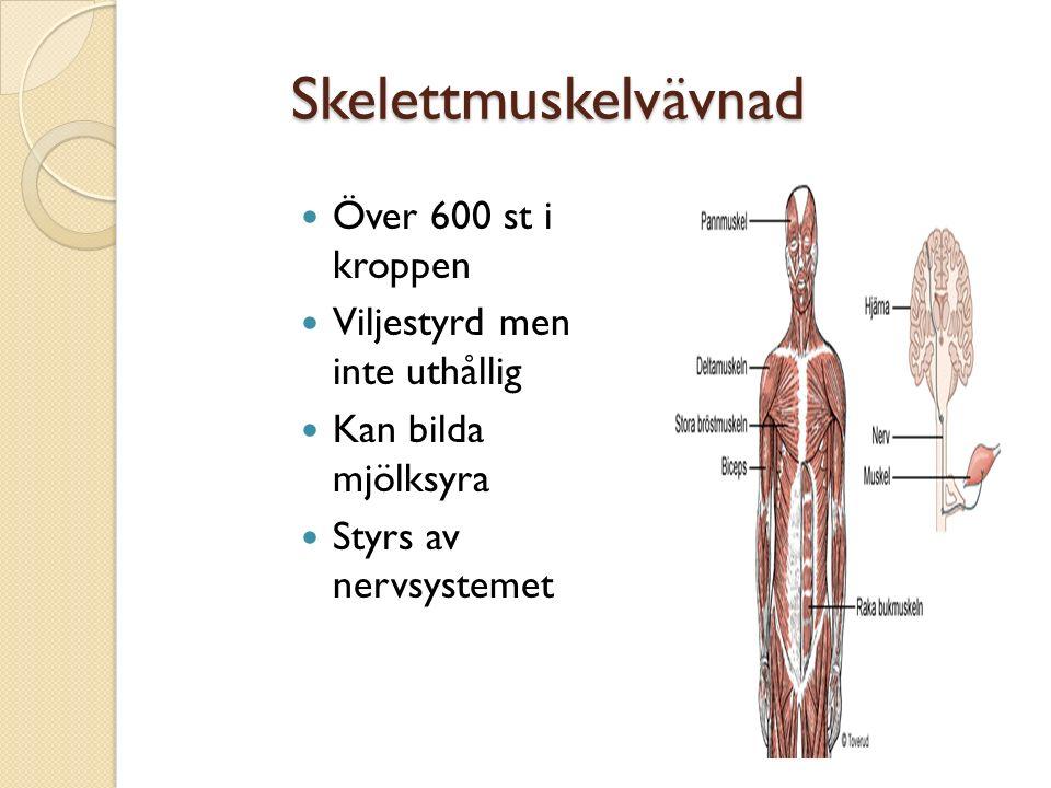Skelettmuskelvävnad Över 600 st i kroppen Viljestyrd men inte uthållig Kan bilda mjölksyra Styrs av nervsystemet