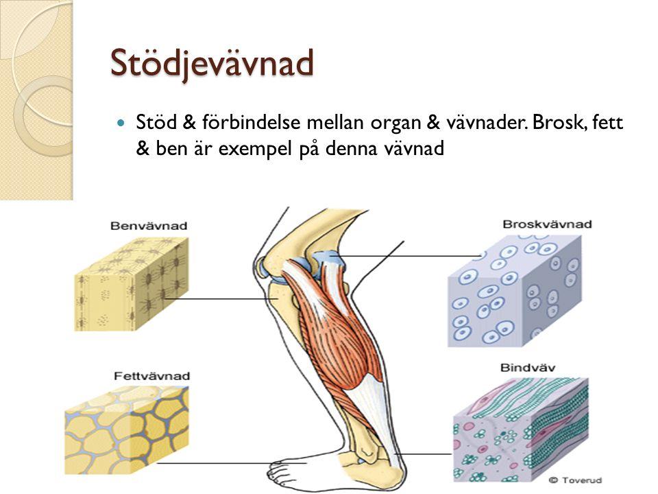 Stödjevävnad Stöd & förbindelse mellan organ & vävnader. Brosk, fett & ben är exempel på denna vävnad