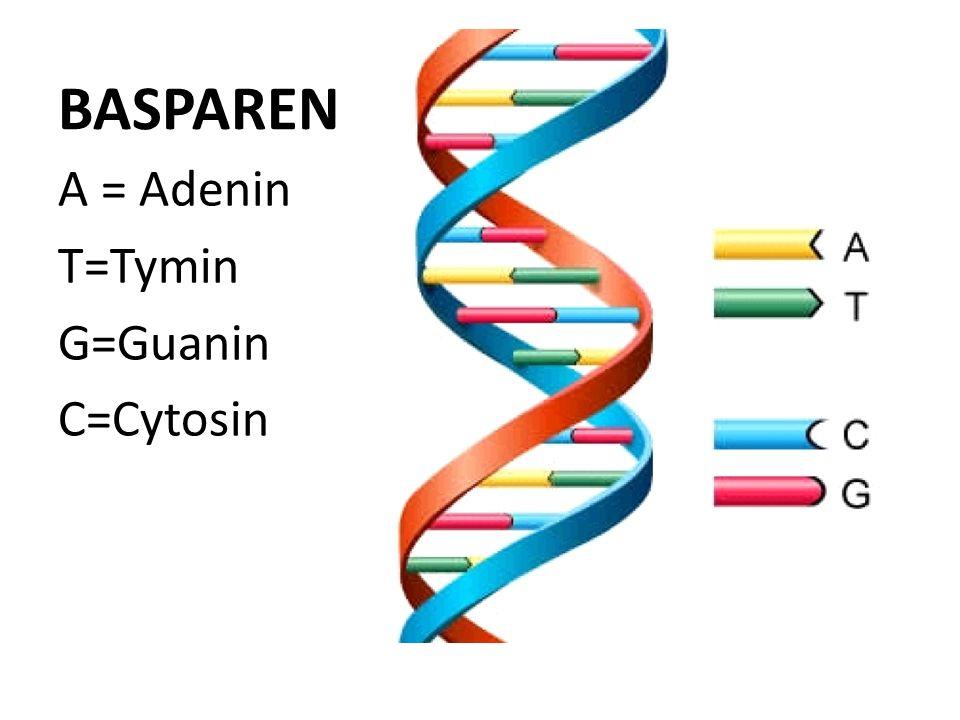 BASPAREN A = Adenin T=Tymin G=Guanin C=Cytosin
