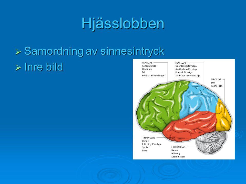Hjässlobben  Samordning av sinnesintryck  Inre bild
