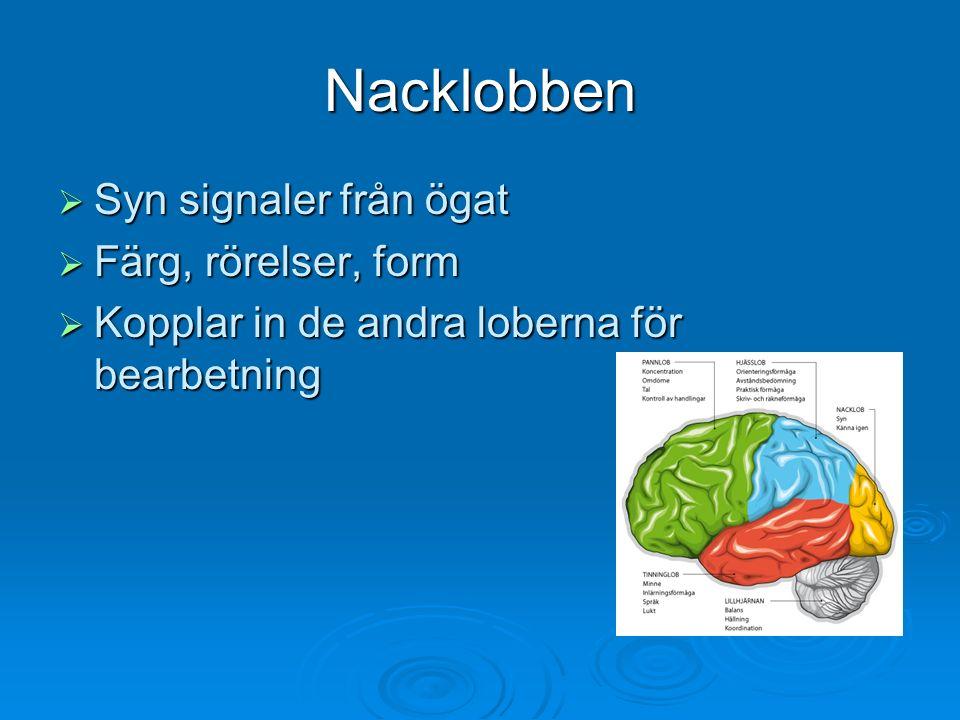 Nacklobben  Syn signaler från ögat  Färg, rörelser, form  Kopplar in de andra loberna för bearbetning