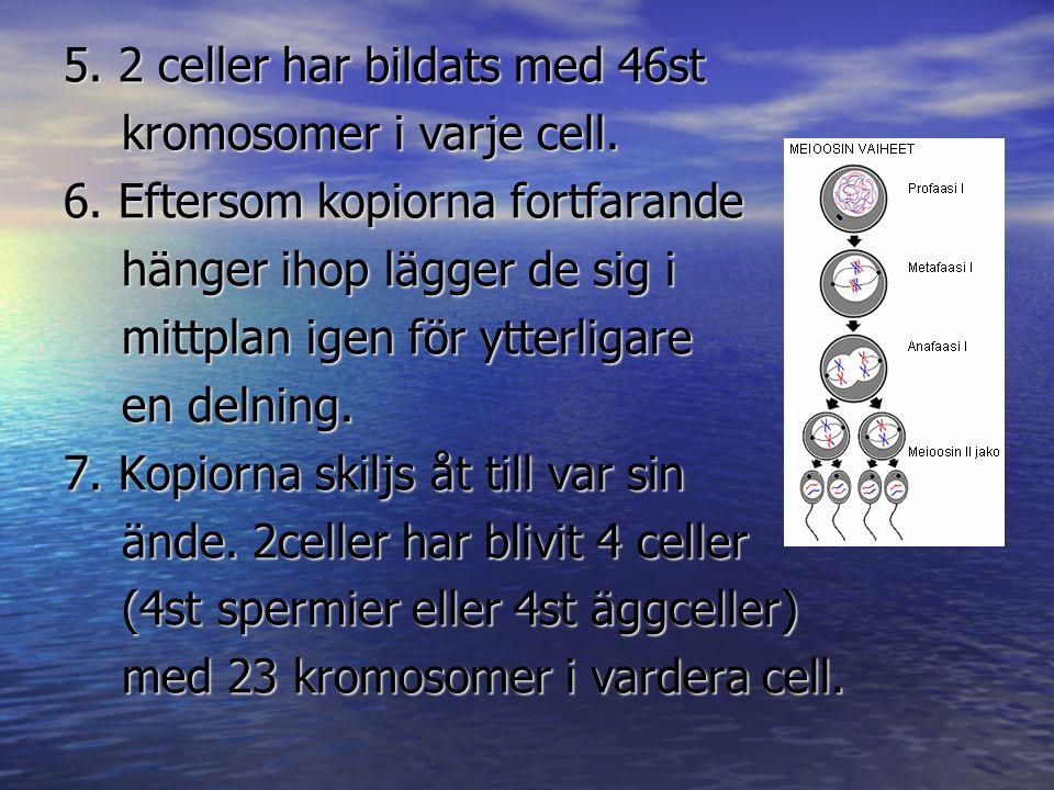 5. 2 celler har bildats med 46st kromosomer i varje cell. kromosomer i varje cell. 6. Eftersom kopiorna fortfarande hänger ihop lägger de sig i hänger