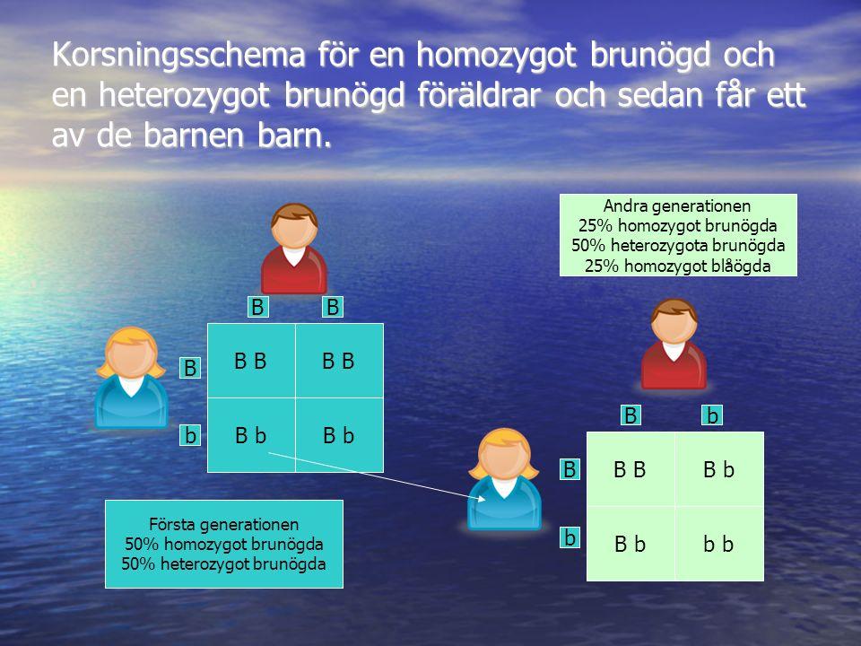 Korsningsschema för en homozygot brunögd och en heterozygot brunögd föräldrar och sedan får ett av de barnen barn. B b B B b b B BB b B b Bb Första ge