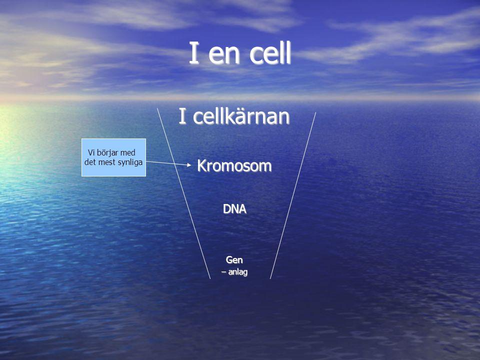 I en cell I cellkärnan KromosomDNAGen – anlag Vi börjar med det mest synliga