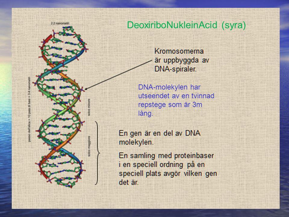 DNA-molekylen har utseendet av en tvinnad repstege som är 3m lång. DeoxiriboNukleinAcid (syra)