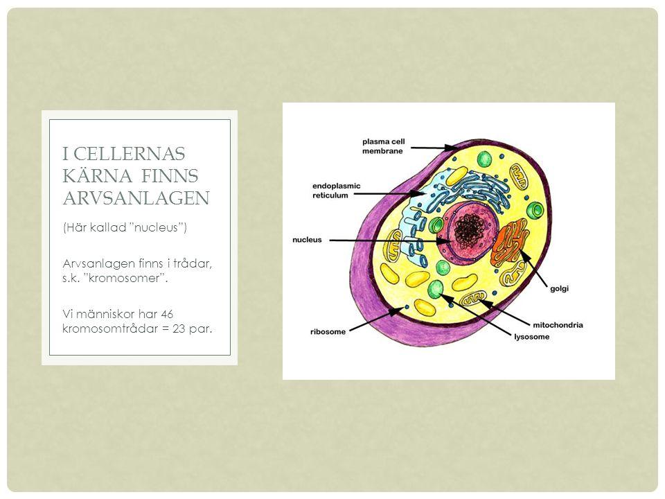 (Här kallad nucleus ) Arvsanlagen finns i trådar, s.k.