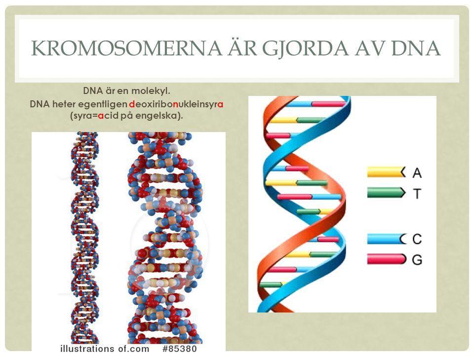 KROMOSOMERNA ÄR GJORDA AV DNA DNA är en molekyl.