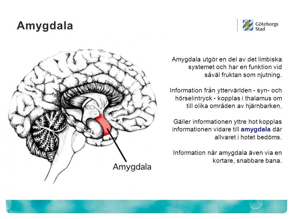 Amygdala Amygdala utgör en del av det limbiska systemet och har en funktion vid såväl fruktan som njutning. Information från yttervärlden - syn- och h