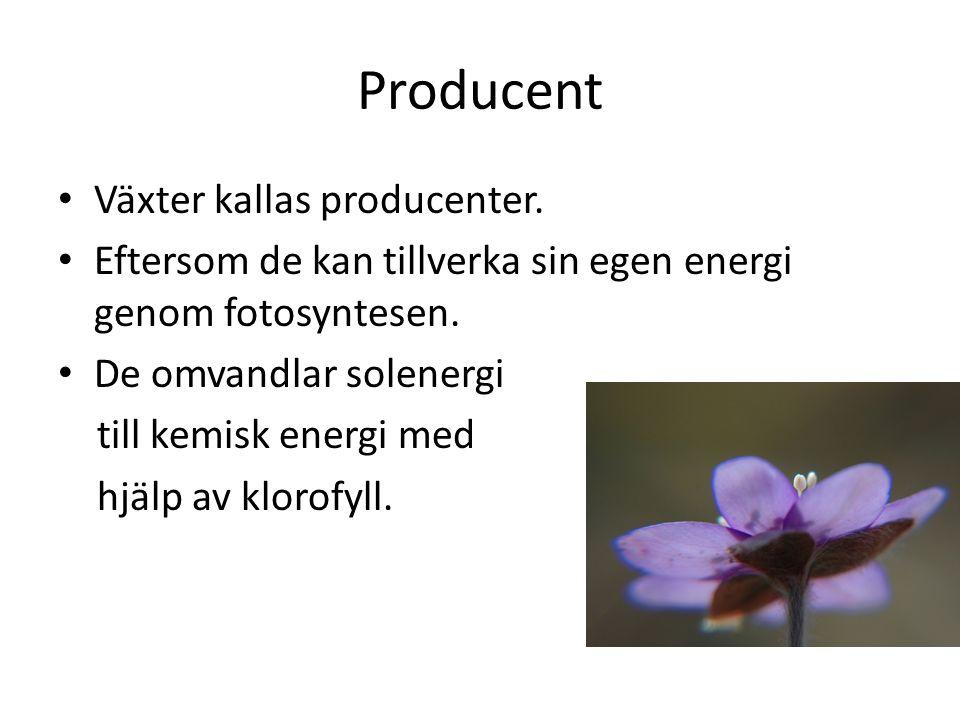 Producent Växter kallas producenter. Eftersom de kan tillverka sin egen energi genom fotosyntesen. De omvandlar solenergi till kemisk energi med hjälp