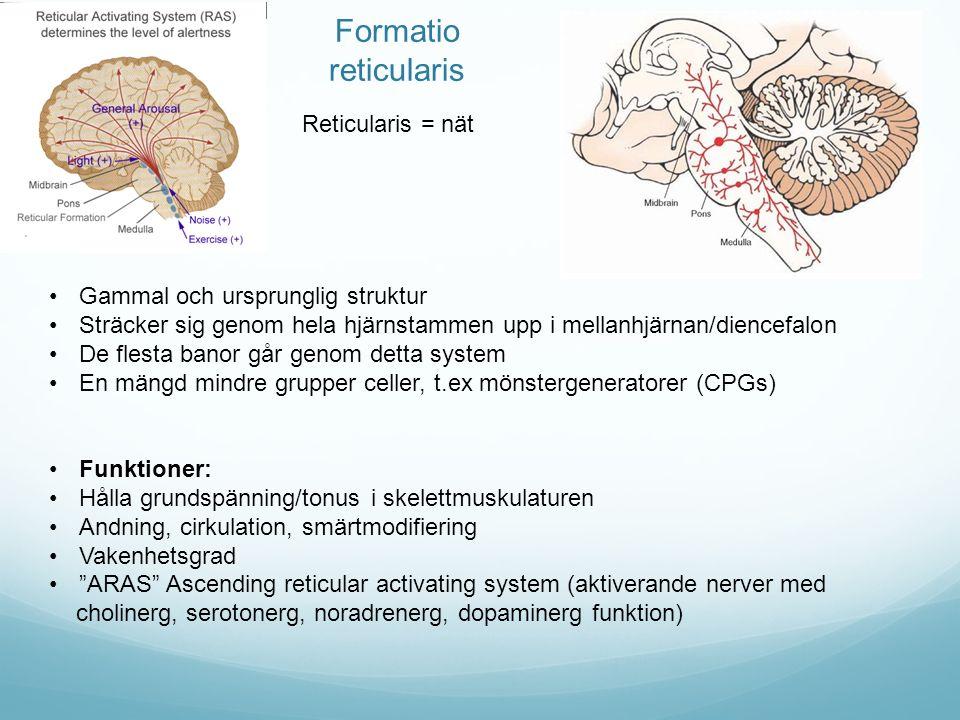 Formatio reticularis Reticularis = nät Gammal och ursprunglig struktur Sträcker sig genom hela hjärnstammen upp i mellanhjärnan/diencefalon De flesta banor går genom detta system En mängd mindre grupper celler, t.ex mönstergeneratorer (CPGs) Funktioner: Hålla grundspänning/tonus i skelettmuskulaturen Andning, cirkulation, smärtmodifiering Vakenhetsgrad ARAS Ascending reticular activating system (aktiverande nerver med cholinerg, serotonerg, noradrenerg, dopaminerg funktion)