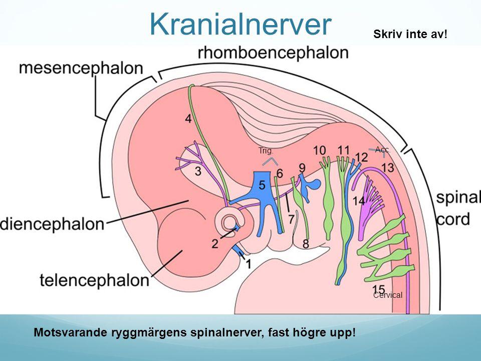 Kranialnerver Cervical Trig.Acc. Motsvarande ryggmärgens spinalnerver, fast högre upp.