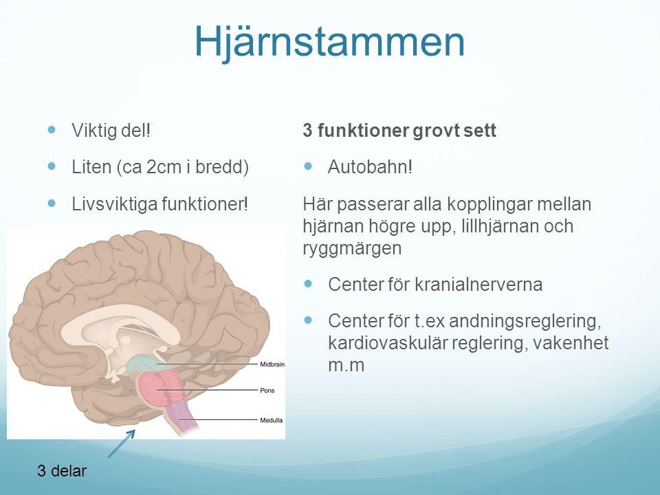 Hjärnstammen Viktig del.Liten (ca 2cm i bredd) Livsviktiga funktioner.